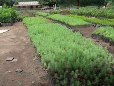 Tree nursery for pines and oranges