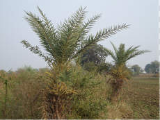 Broom tree: Phoenix sylvestris (Date palm)
