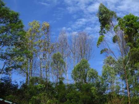 Dead and dying Acacia trees in Asia due to infection by the wilt pathogen Ceratocystis