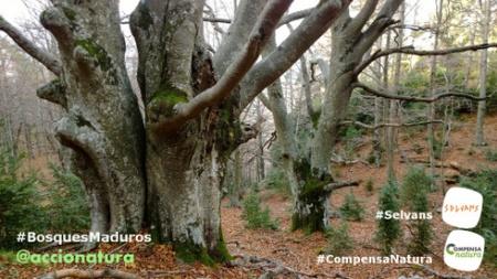 Urgencia #BosquesMaduros, oportunidad programa #Selvans, vía de implicación #CompensaNatura