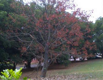 Hildegardia barteri tree during fruiting