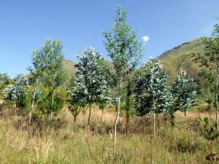 Parcela con la asociación de tres especies maderables: Pinus radiata, Eucalyptus globulus, Acacia dealbata