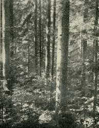 Edvard Pogačnik's forests in approx. 1959