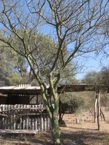 Árbol de Brea en Bosque semiárido del Parque Chaqueño, Argentina