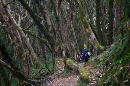Rhododendron forest near Tarapani (Nepal)
