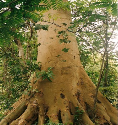 A standing matured Ficus mucuso tree