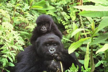 Gorilla mother and child in Volcanoes National Park