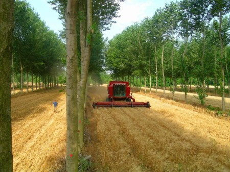 An agroforestry system (interplanting poplar trees and wheat) in southern France. The system produces more grain and wood by hectare than if the two crops were cultivated separately