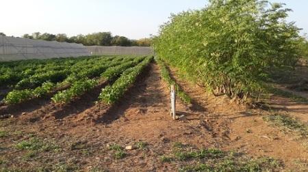 Established moringa and beans system at Eiland in Ba-Baphala Municipality.