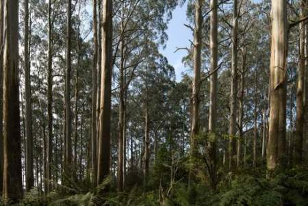 One of our four research forests where innovative models and tools for climate change adaptation are being used - Central Highlands Region, Victoria, Australia